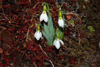 Le perce neige un des premiers bulbes qui fleurit au printemps