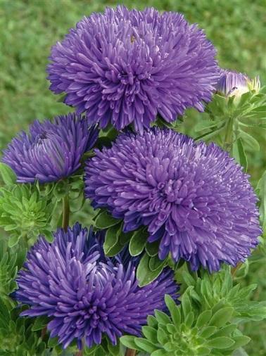De la famille des astéracés, les asters bleues se plantent en pot ou en jardinière sur le balcon.