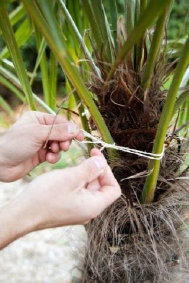 Lier les palmes à l'aide d'une ficelle pour maintenir le feuillage refermé sur lui-même. Choisissez une ficelle en matériaux naturel.