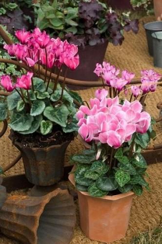 Cyclamen une plante balcon pour fleurir l 39 automne - Arrosage cyclamen en pot ...