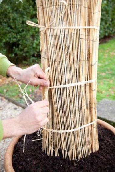 Placez des canisses en roseau autour du tronc pour garder au chaud l'arbre tout l'hiver. Attacher là encore la protection avec de la ficelle sans serrer.