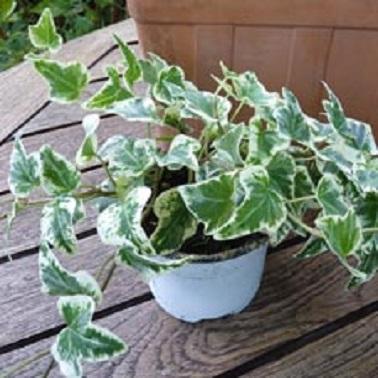 Le lierre est une plante balcon idéale à planter en pot pour la laisser pendre ou la faire grimper au mur.