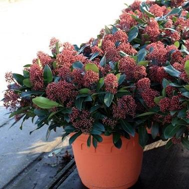 La Skimmia Japonica est une espèce de plante balcon résistante et très décorative.
