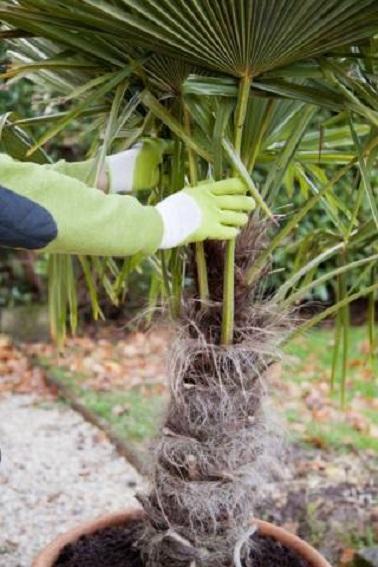 Regrouper les palmes de votre palmier à la main avec des gants pour éviter les coupures. Cela permettra de protéger les petites pousses au centre.