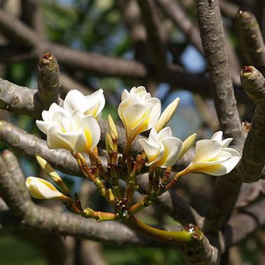 Le frangipanier, une fleur du jardin exotique et enivrante
