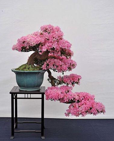 Un jardin zen peut abriter toutes sortes d'essences florales qui apportent de la couleur et de la gaieté. Ce bonzaï d'azalée a demandé des années de travail, mais quelle beauté !