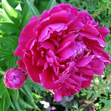 La pivoine, fleur du balcon romantique et magnifique