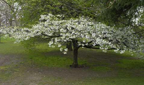 lorsqu'il est en pleine floraison, le cerisier du japon parfume et colore le jardin zen d'une belle touche blanche