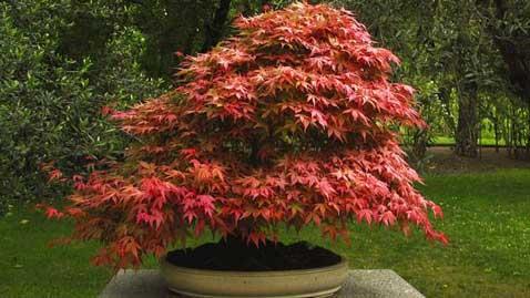 L'érable du japon appelé aussi Acer Palmatum est l'arbre d'excellence d'un jardin zen pour la couleur rouge de son feuillage