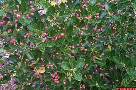 avec ses petites fleurs roses, le fusain fait parti des arbustes faciles à cultiver dans un jardin zen