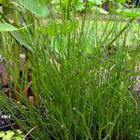 plante vivace, la prèle du japon se plait près dans bassin d'eau dans un jardin zen