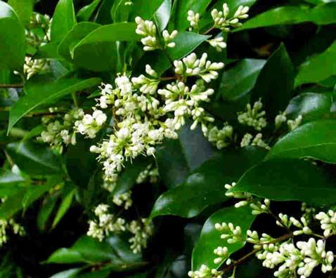 on l'aime pour son feuillage persistant et ses fleurs blanches délicates, le troene du japon est indissociable du jardin zen