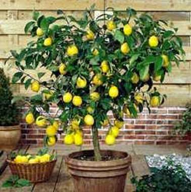 how to grow a lemon tree in a pot nz