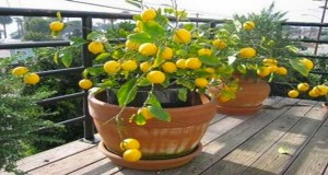 Comment avoir un citronnier chez soi si on ne l'achète pas ? L'astuce se loge dans le pépin du citron ! On vous dit tout sur ce citronnier prometteur de bons fruits