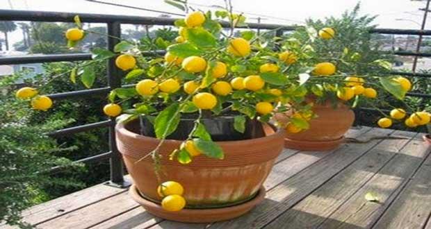 citronnier en pot faire pousser partir d 39 un simple p pin. Black Bedroom Furniture Sets. Home Design Ideas
