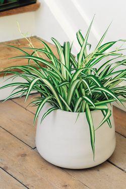 Chlorophytum, assainisseur d'air, est une plante dépolluante adaptée dans une salle de bains.